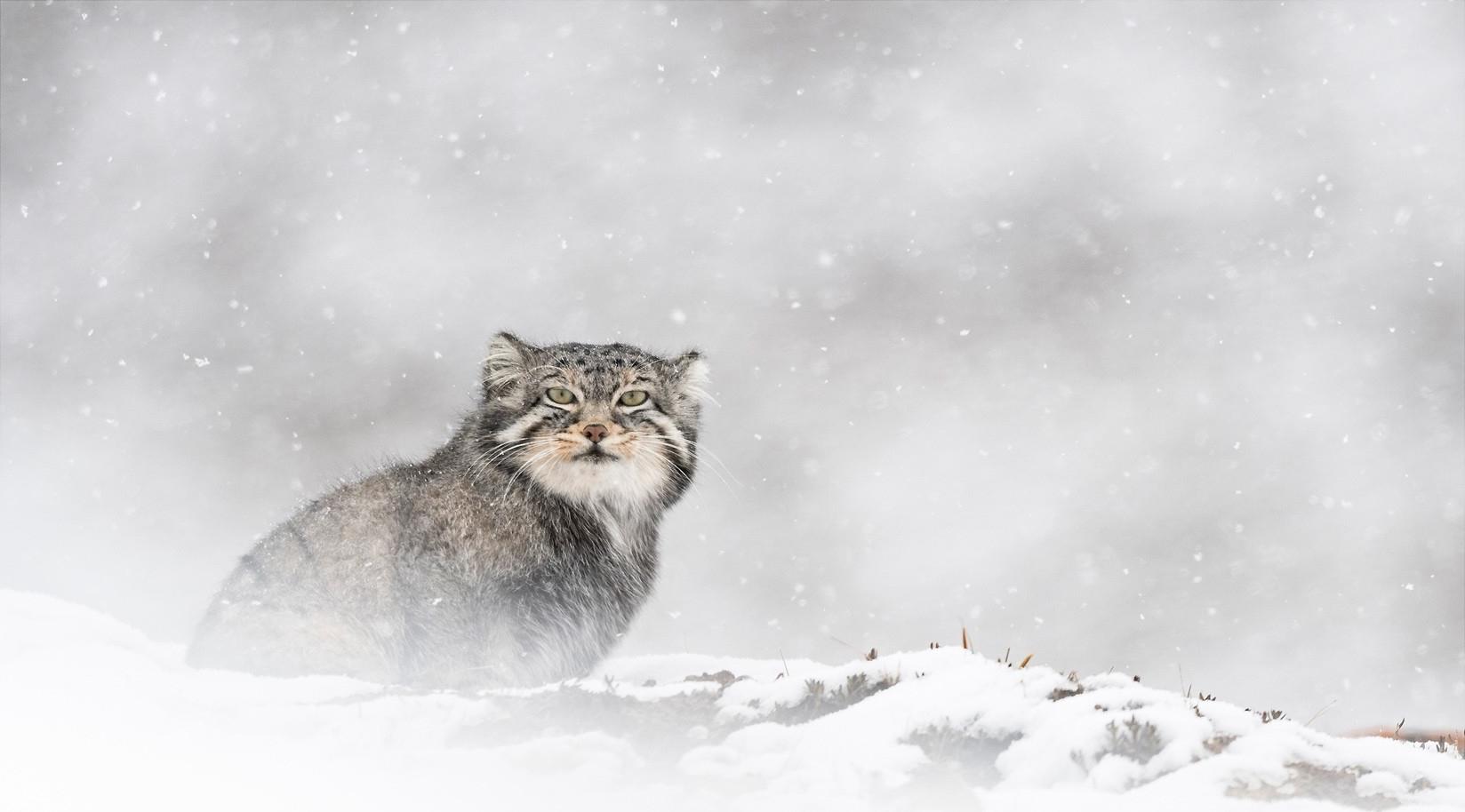 Panthère des neiges, Vincent Munier