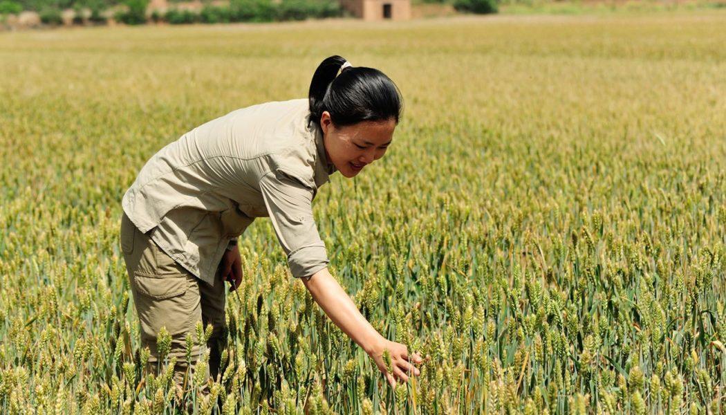 Le blé en Chine
