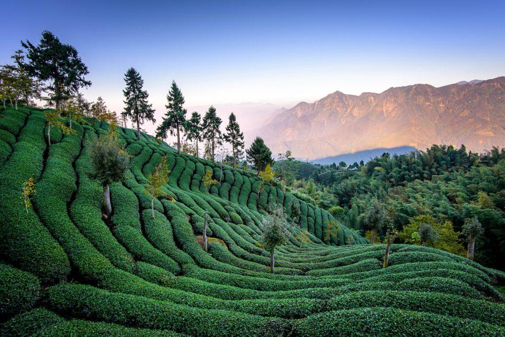 Plantation de thé à Taiwan